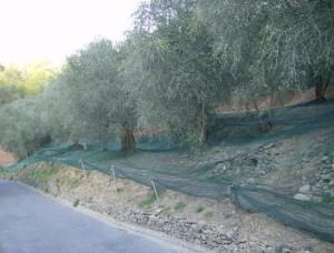 oliven (1)