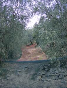 oliven (3)