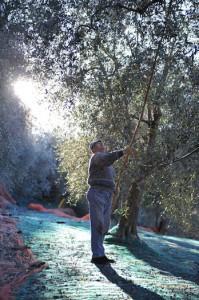 oliven (6)